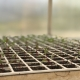 A tray on newly germinated seedlings.
